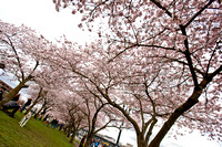 CherryBlossoms17_0005