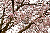 CherryBlossoms17_0006